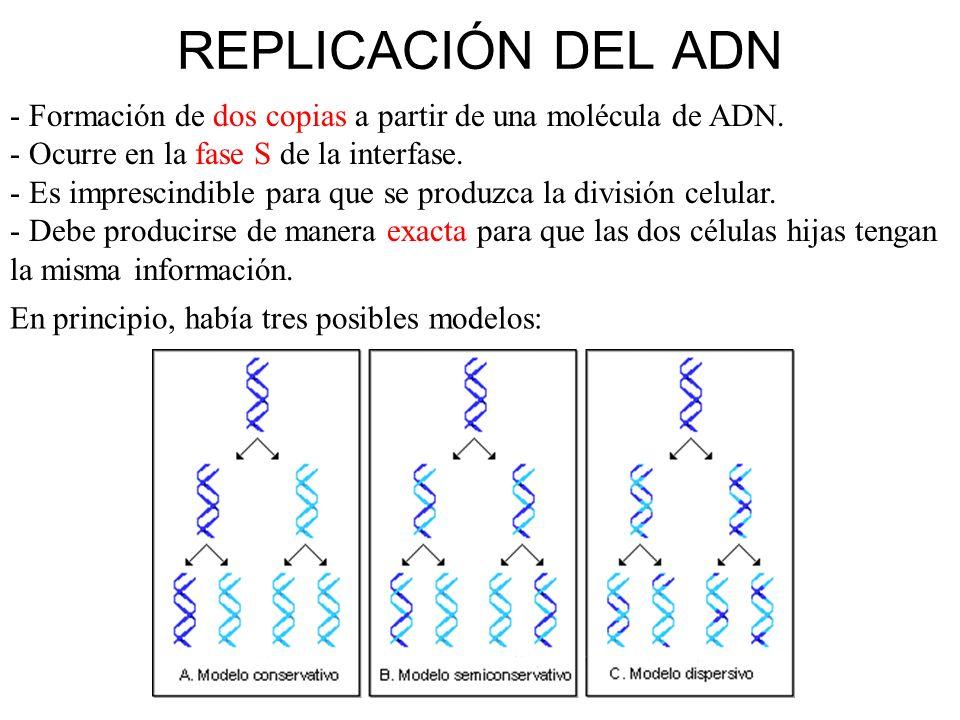 En una MEIOSIS: A partir de una célula con 2n cromosomas se obtienen 4 células con n cromosomas.