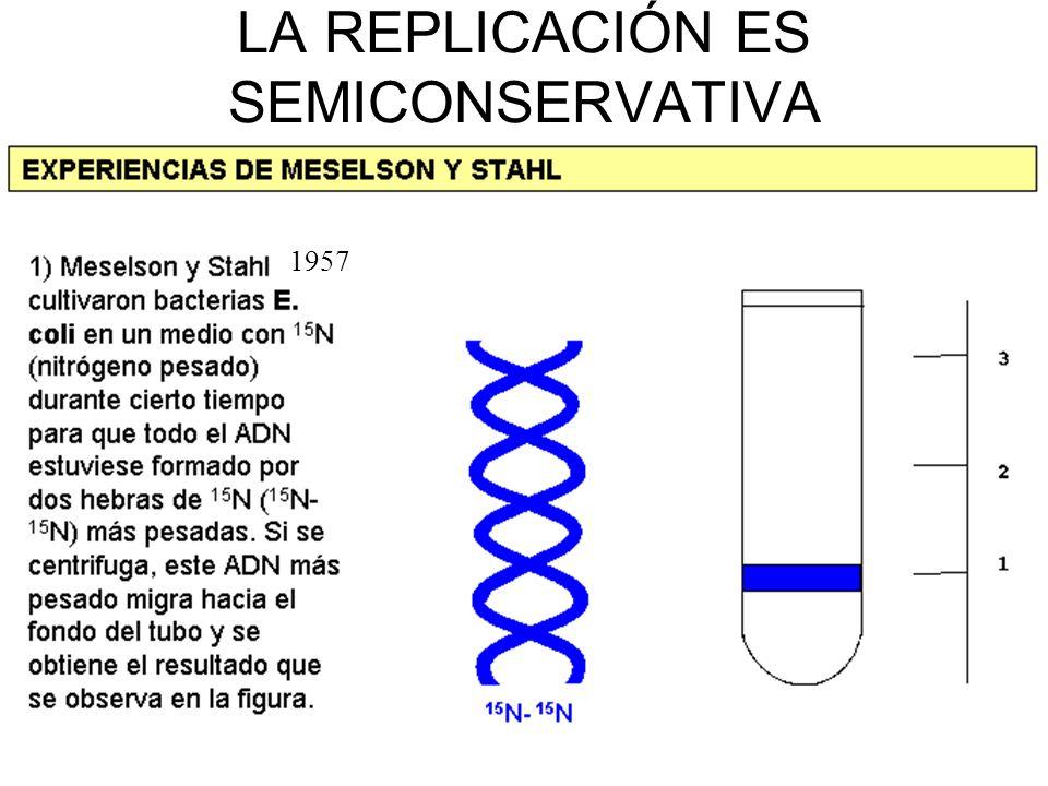 En una MITOSIS: A partir de una célula con 2n cromosomas se obtienen dos células con 2n cromosomas.