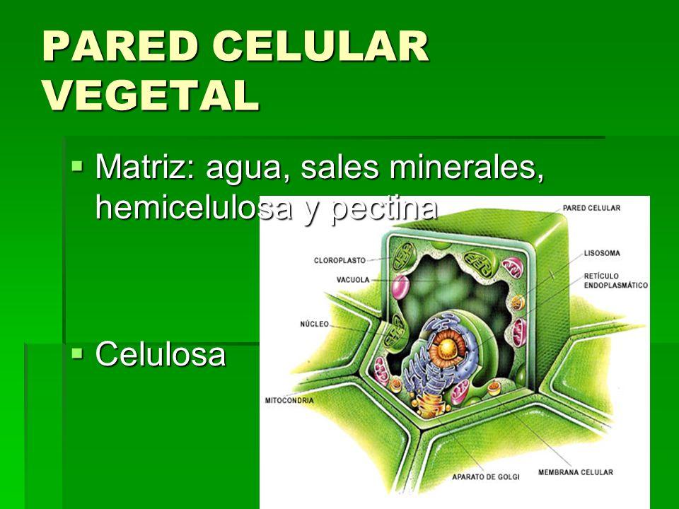 Matriz: agua, sales minerales, hemicelulosa y pectina Matriz: agua, sales minerales, hemicelulosa y pectina Celulosa Celulosa PARED CELULAR VEGETAL