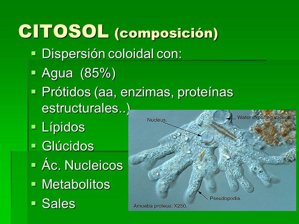 CITOSOL (composición) Dispersión coloidal con: Dispersión coloidal con: Agua (85%) Agua (85%) Prótidos (aa, enzimas, proteínas estructurales..) Prótid