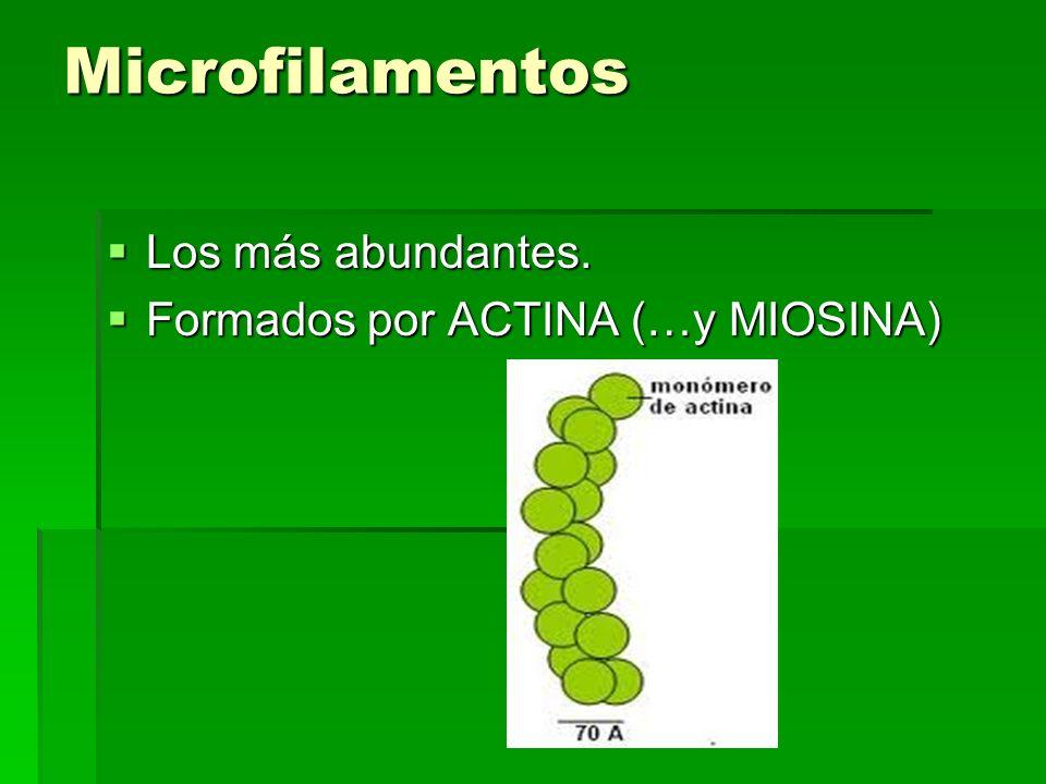 Microfilamentos Los más abundantes. Los más abundantes. Formados por ACTINA (…y MIOSINA) Formados por ACTINA (…y MIOSINA)