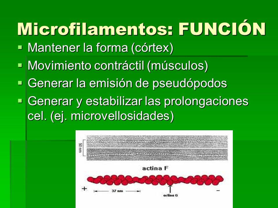 Microfilamentos: FUNCIÓN Mantener la forma (córtex) Mantener la forma (córtex) Movimiento contráctil (músculos) Movimiento contráctil (músculos) Gener