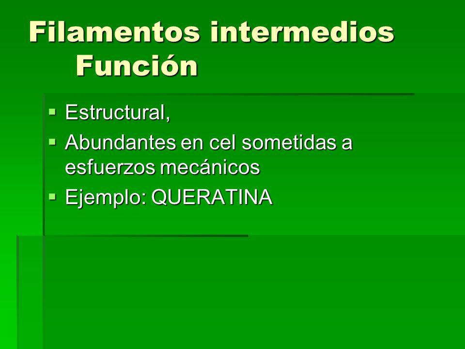 Filamentos intermedios Función Estructural, Estructural, Abundantes en cel sometidas a esfuerzos mecánicos Abundantes en cel sometidas a esfuerzos mec