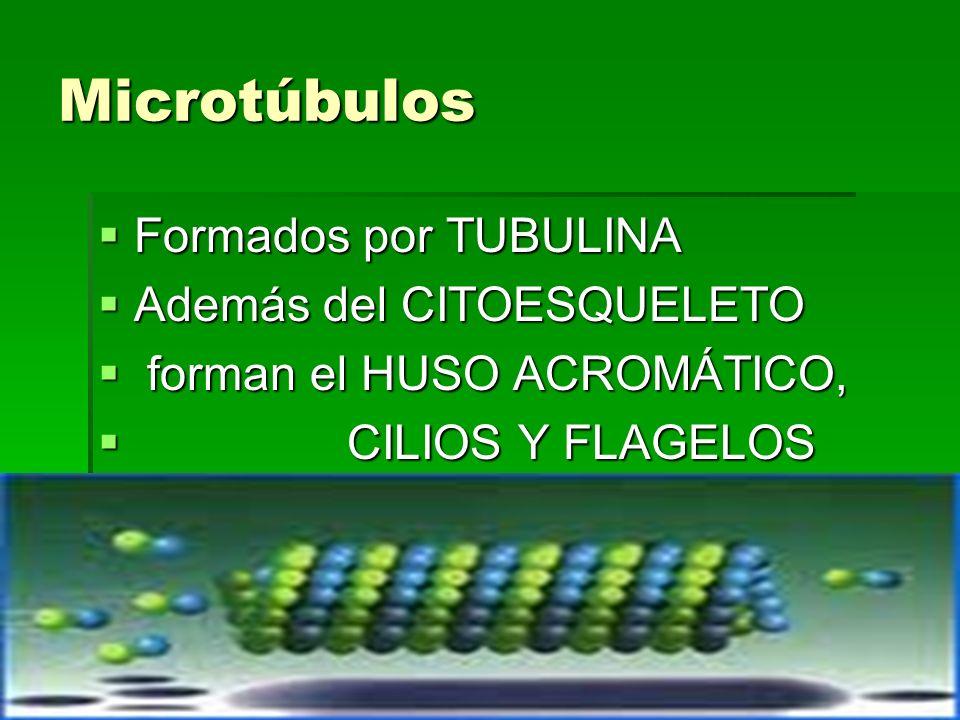 Microtúbulos Formados por TUBULINA Formados por TUBULINA Además del CITOESQUELETO Además del CITOESQUELETO forman el HUSO ACROMÁTICO, forman el HUSO A