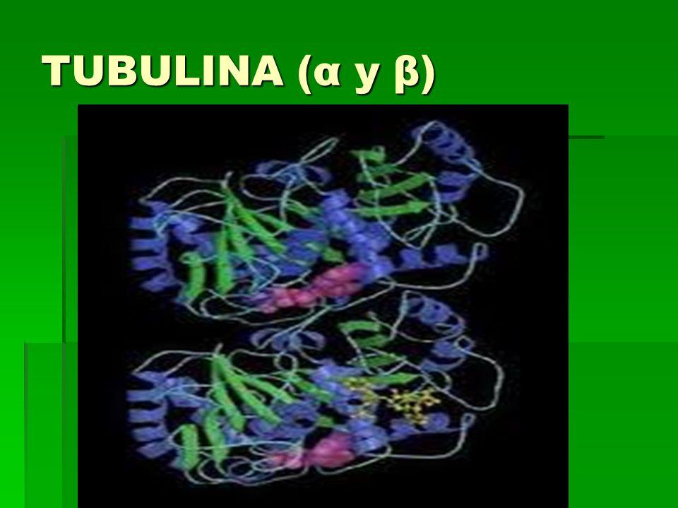TUBULINA (α y β)