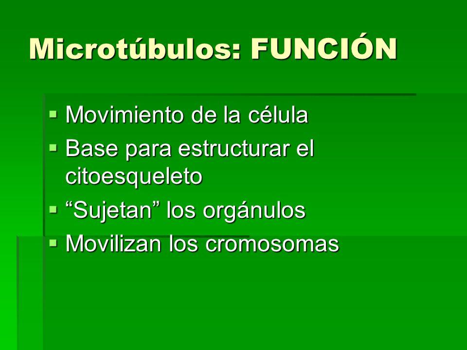 Microtúbulos: FUNCIÓN Movimiento de la célula Movimiento de la célula Base para estructurar el citoesqueleto Base para estructurar el citoesqueleto Su