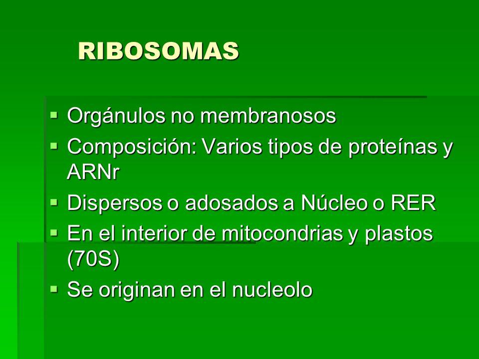RIBOSOMAS Orgánulos no membranosos Orgánulos no membranosos Composición: Varios tipos de proteínas y ARNr Composición: Varios tipos de proteínas y ARN