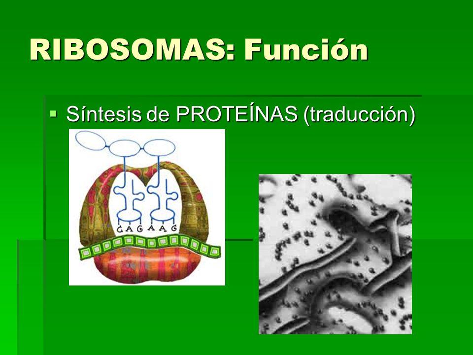 RIBOSOMAS: Función Síntesis de PROTEÍNAS (traducción) Síntesis de PROTEÍNAS (traducción)
