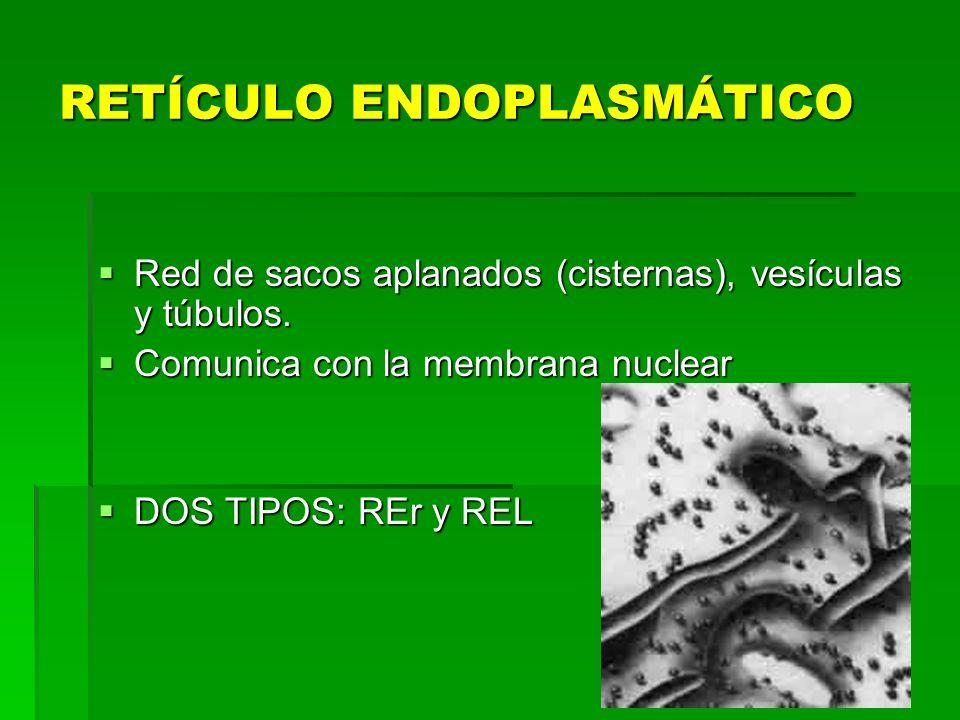 RETÍCULO ENDOPLASMÁTICO Red de sacos aplanados (cisternas), vesículas y túbulos. Red de sacos aplanados (cisternas), vesículas y túbulos. Comunica con