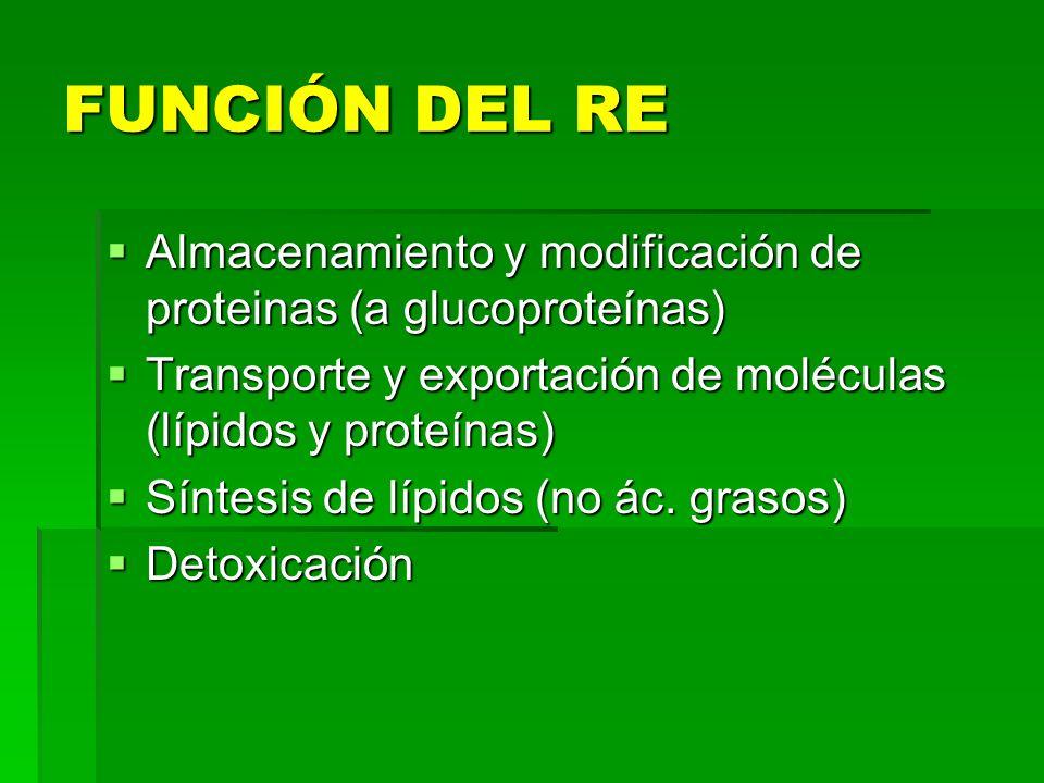 FUNCIÓN DEL RE Almacenamiento y modificación de proteinas (a glucoproteínas) Almacenamiento y modificación de proteinas (a glucoproteínas) Transporte