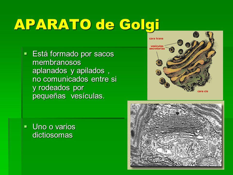 APARATO de Golgi Está formado por sacos membranosos aplanados y apilados, no comunicados entre si y rodeados por pequeñas vesículas. Está formado por
