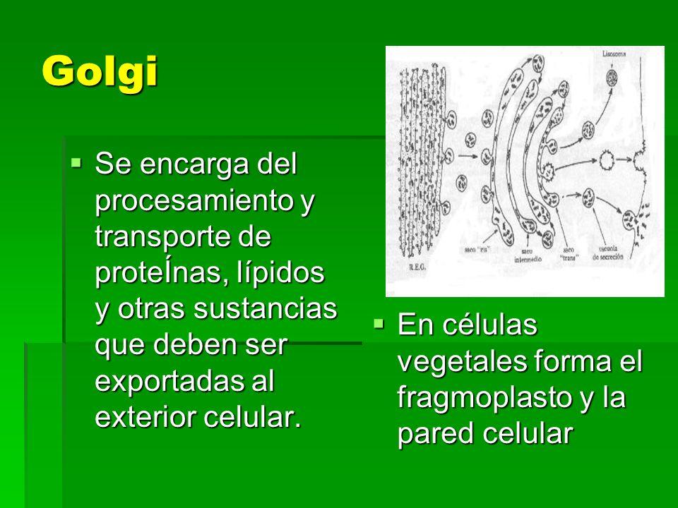 Golgi Se encarga del procesamiento y transporte de proteÍnas, lípidos y otras sustancias que deben ser exportadas al exterior celular. Se encarga del
