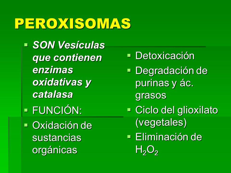 PEROXISOMAS SON Vesículas que contienen enzimas oxidativas y catalasa SON Vesículas que contienen enzimas oxidativas y catalasa FUNCIÓN: FUNCIÓN: Oxid
