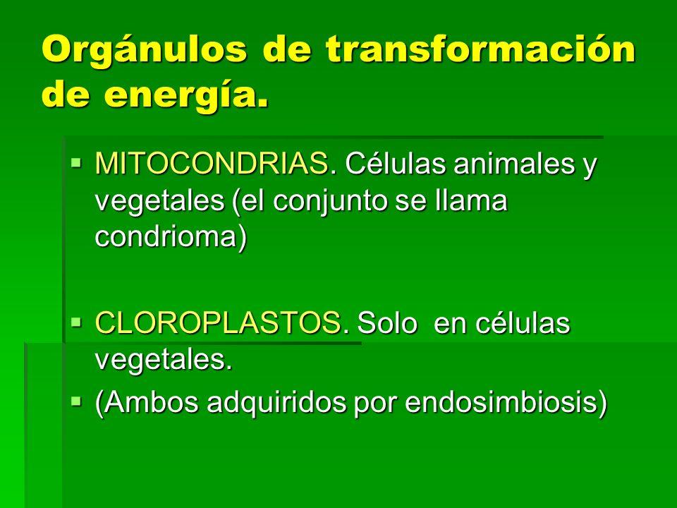 Orgánulos de transformación de energía. MITOCONDRIAS. Células animales y vegetales (el conjunto se llama condrioma) MITOCONDRIAS. Células animales y v