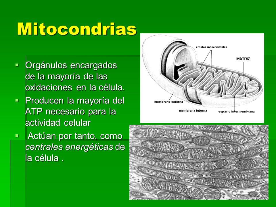 Mitocondrias Orgánulos encargados de la mayoría de las oxidaciones en la célula. Orgánulos encargados de la mayoría de las oxidaciones en la célula. P