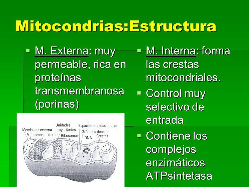 Mitocondrias:Estructura M. Externa: muy permeable, rica en proteínas transmembranosa (porinas) M. Externa: muy permeable, rica en proteínas transmembr
