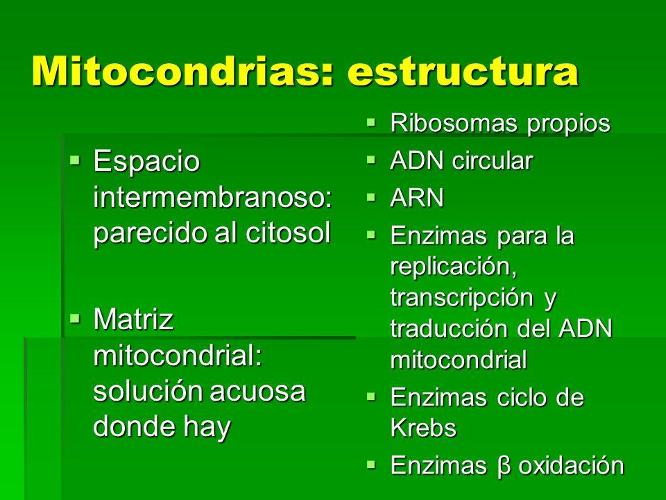 Mitocondrias: estructura Espacio intermembranoso: parecido al citosol Espacio intermembranoso: parecido al citosol Matriz mitocondrial: solución acuos