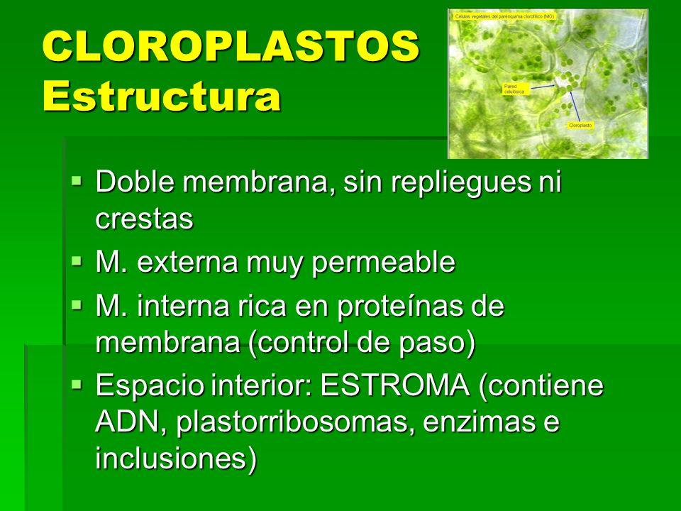 CLOROPLASTOS Estructura Doble membrana, sin repliegues ni crestas Doble membrana, sin repliegues ni crestas M. externa muy permeable M. externa muy pe