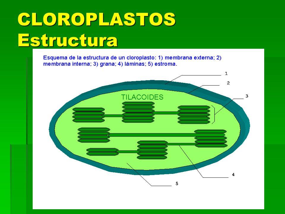 CLOROPLASTOS Estructura TILACOIDES