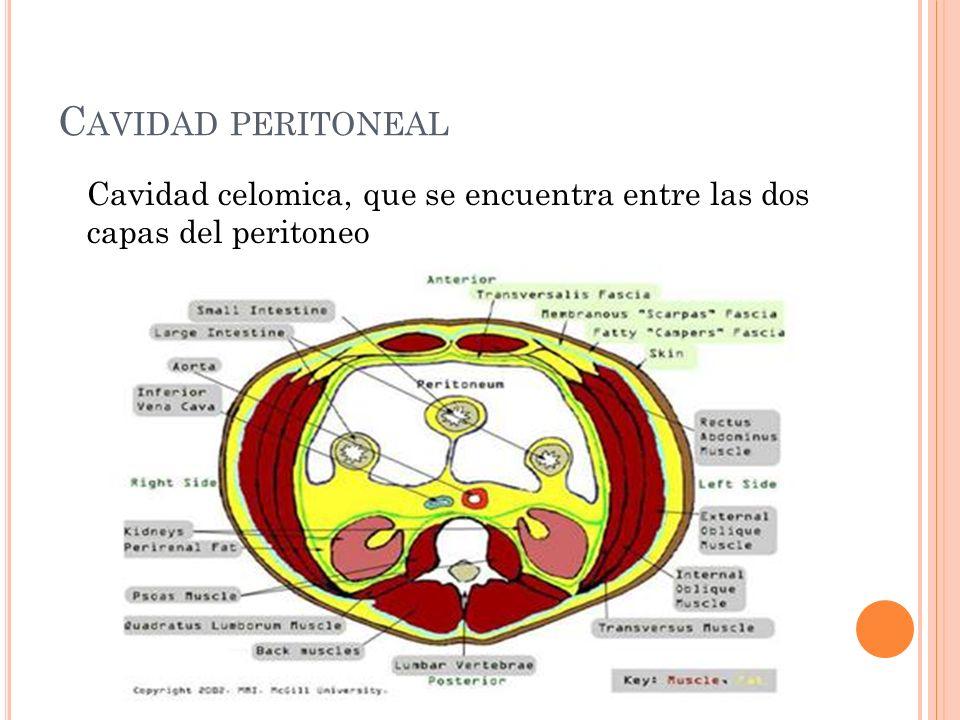 C AVIDAD PERITONEAL Cavidad celomica, que se encuentra entre las dos capas del peritoneo