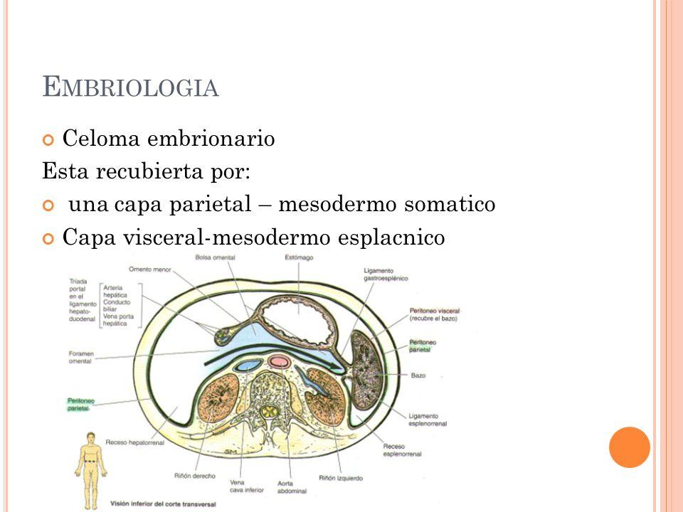 E MBRIOLOGIA Celoma embrionario Esta recubierta por: una capa parietal – mesodermo somatico Capa visceral-mesodermo esplacnico