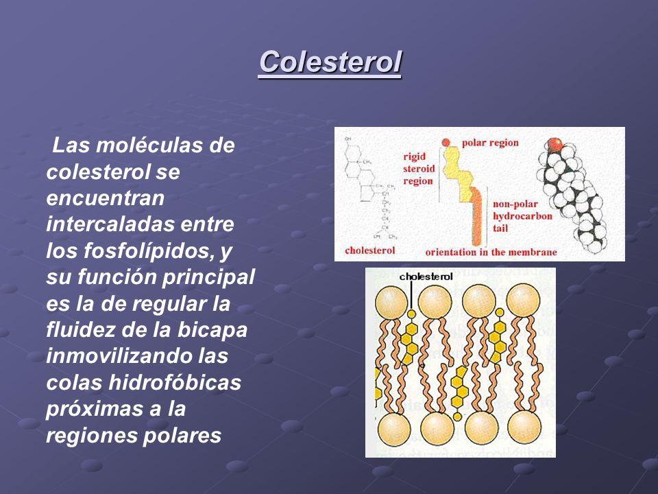 Colesterol Las moléculas de colesterol se encuentran intercaladas entre los fosfolípidos, y su función principal es la de regular la fluidez de la bic