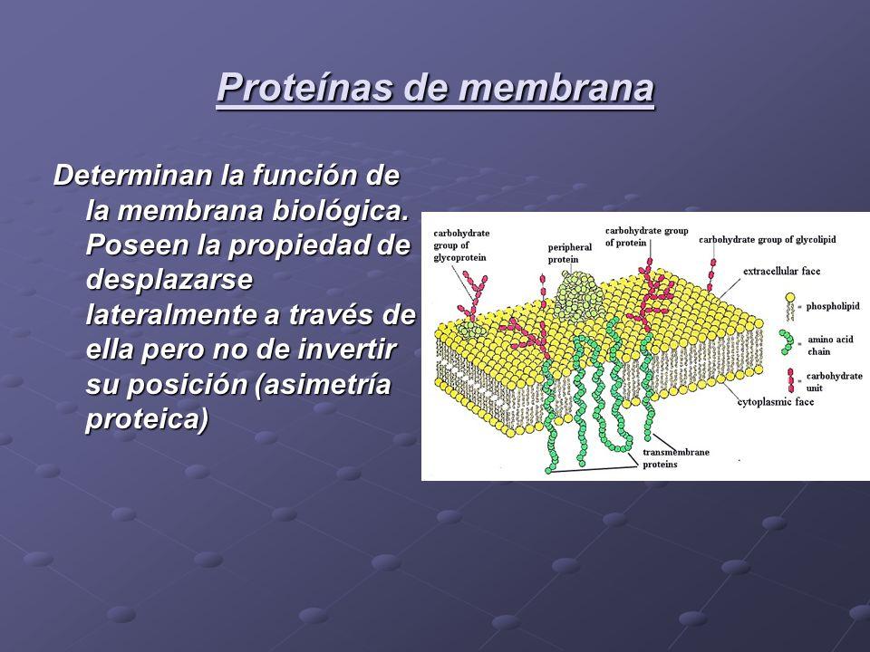 Proteínas de membrana Determinan la función de la membrana biológica. Poseen la propiedad de desplazarse lateralmente a través de ella pero no de inve