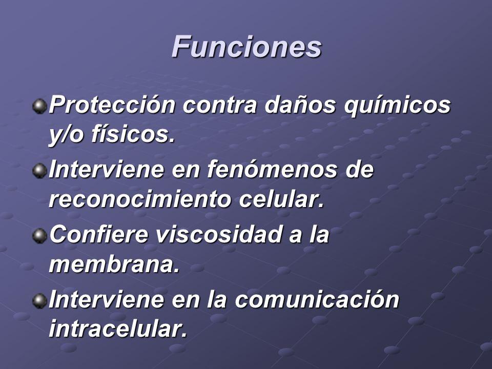 Funciones Protección contra daños químicos y/o físicos. Interviene en fenómenos de reconocimiento celular. Confiere viscosidad a la membrana. Intervie