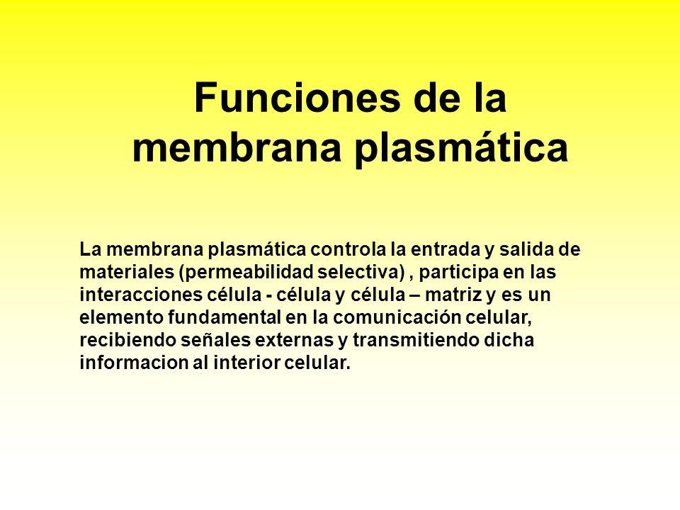 Funciones de la membrana plasmática La membrana plasmática controla la entrada y salida de materiales (permeabilidad selectiva), participa en las inte