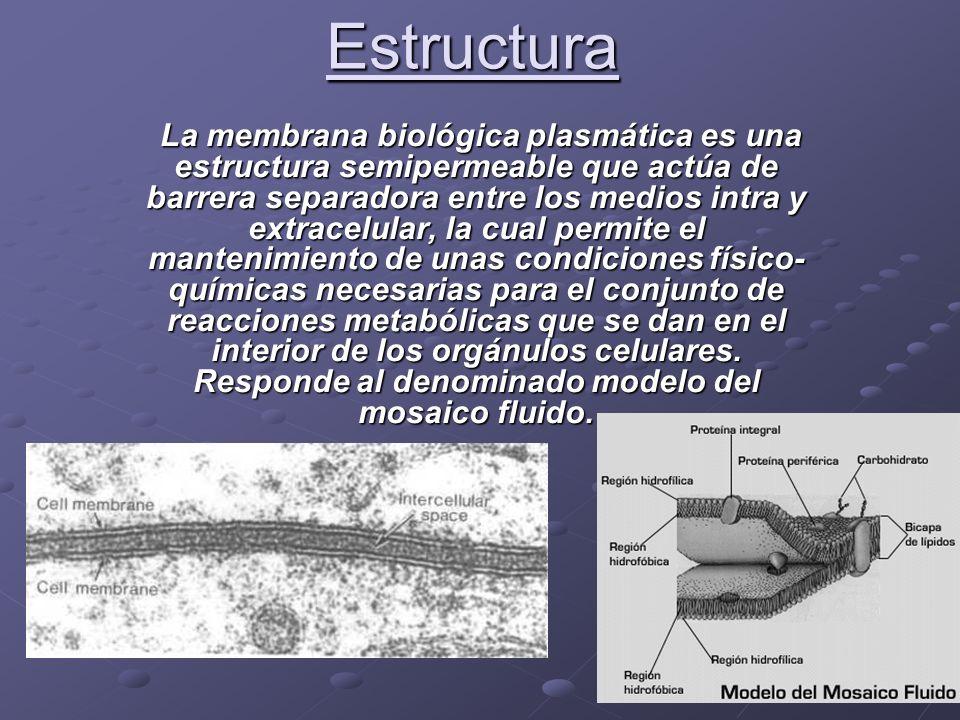 Estructura La membrana biológica plasmática es una estructura semipermeable que actúa de barrera separadora entre los medios intra y extracelular, la