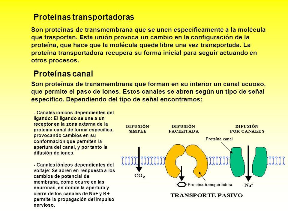Son proteínas de transmembrana que forman en su interior un canal acuoso, que permite el paso de iones. Estos canales se abren según un tipo de señal