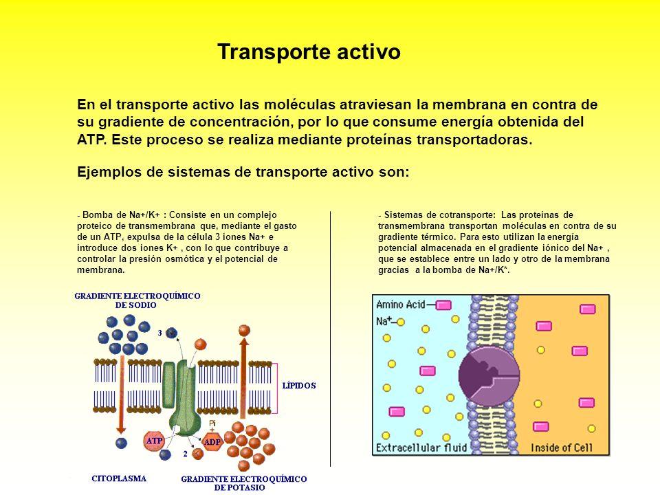 Transporte activo En el transporte activo las moléculas atraviesan la membrana en contra de su gradiente de concentración, por lo que consume energía
