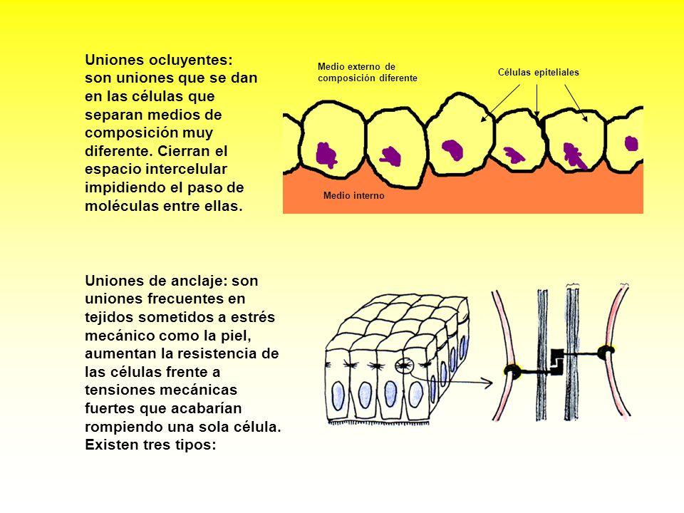 Uniones de anclaje: son uniones frecuentes en tejidos sometidos a estrés mecánico como la piel, aumentan la resistencia de las células frente a tensio