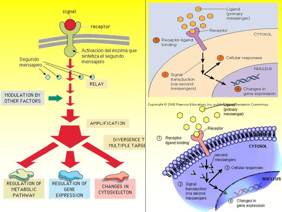 Activación del enzima que sintetiza el segundo mensajero Segundo mensajero