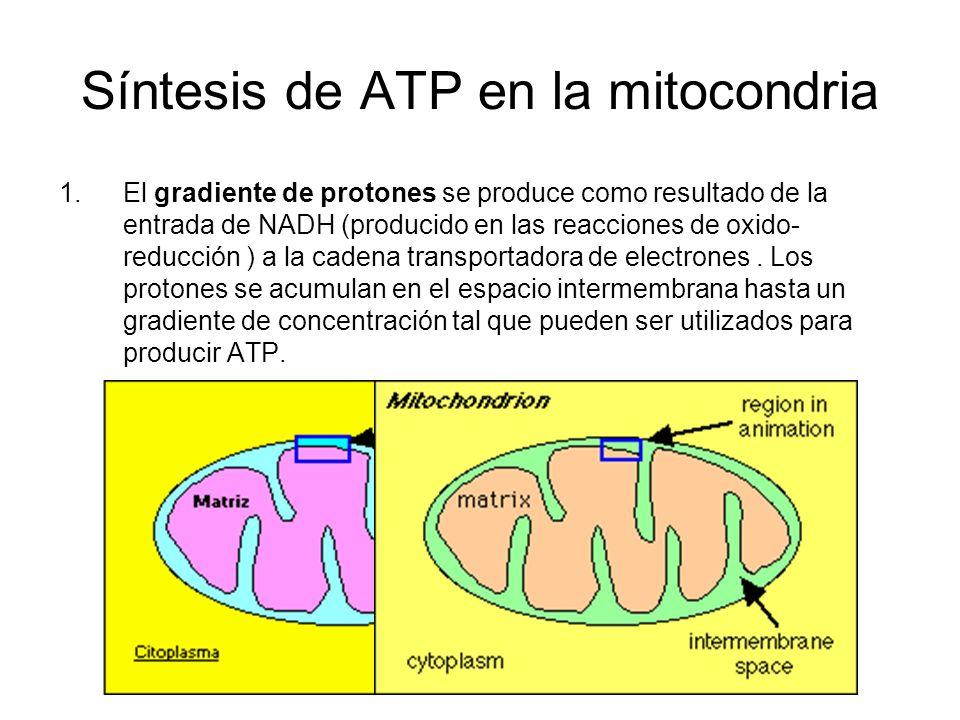 Síntesis de ATP en la mitocondria 1.El gradiente de protones se produce como resultado de la entrada de NADH (producido en las reacciones de oxido- re