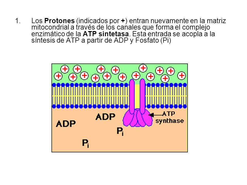 1.Los Protones (indicados por +) entran nuevamente en la matriz mitocondrial a través de los canales que forma el complejo enzimático de la ATP sintet