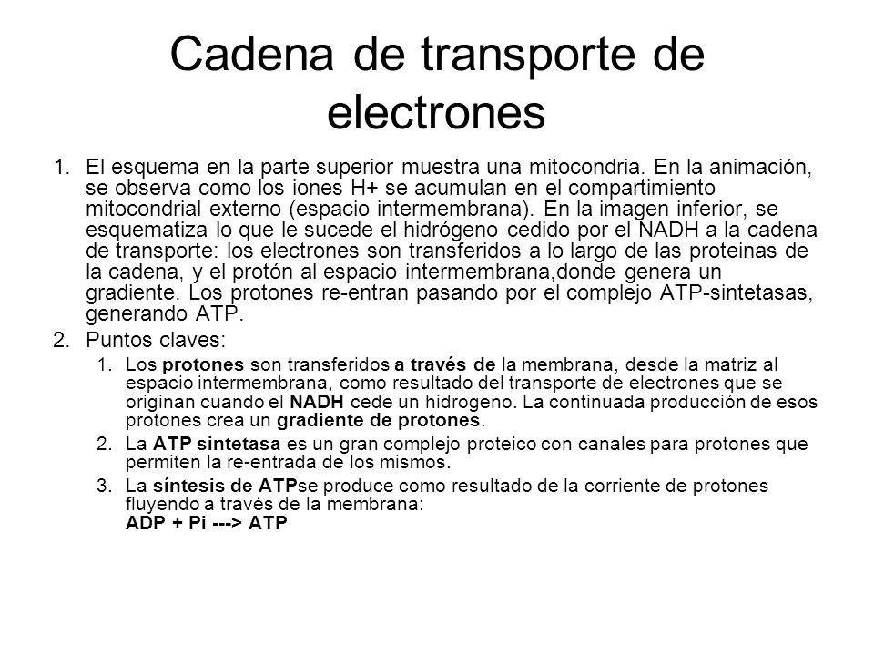 Cadena de transporte de electrones 1.El esquema en la parte superior muestra una mitocondria. En la animación, se observa como los iones H+ se acumula