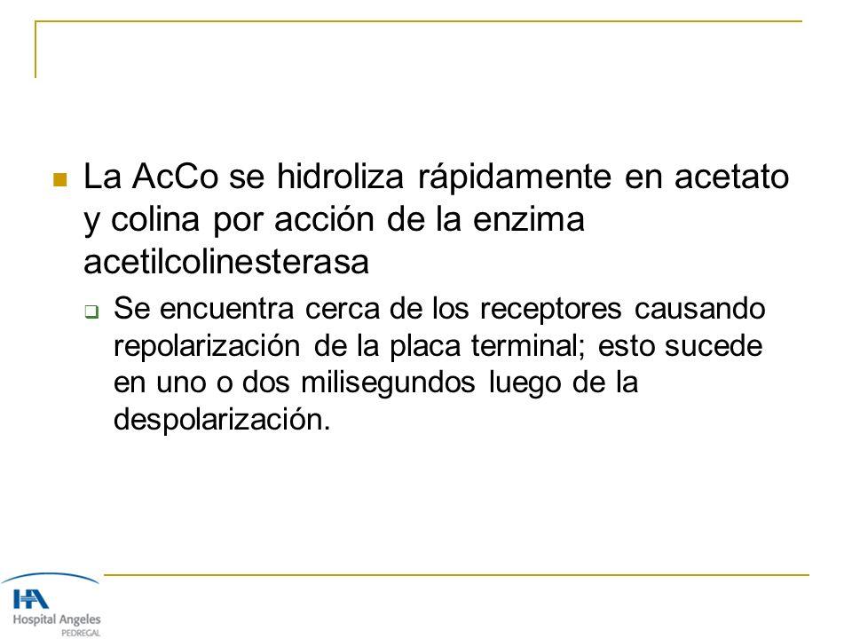 La AcCo se hidroliza rápidamente en acetato y colina por acción de la enzima acetilcolinesterasa Se encuentra cerca de los receptores causando repolar