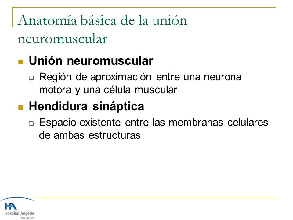 Anatomía básica de la unión neuromuscular Unión neuromuscular Región de aproximación entre una neurona motora y una célula muscular Hendidura sináptic