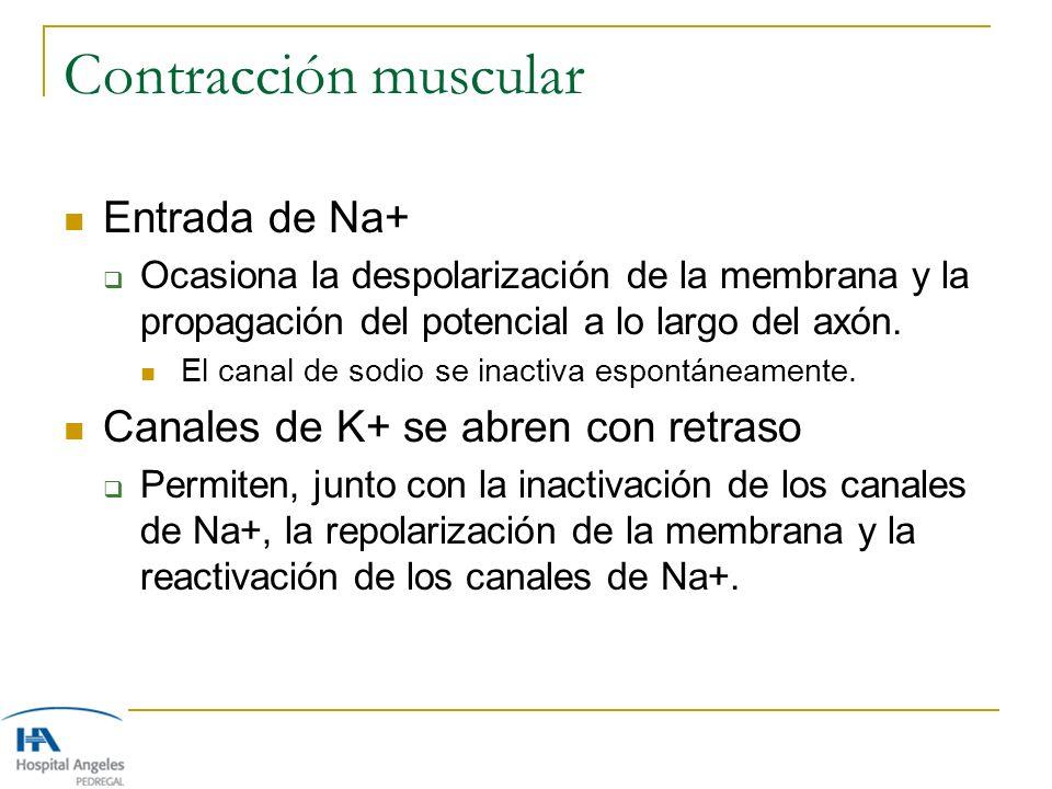 Contracción muscular Entrada de Na+ Ocasiona la despolarización de la membrana y la propagación del potencial a lo largo del axón. El canal de sodio s
