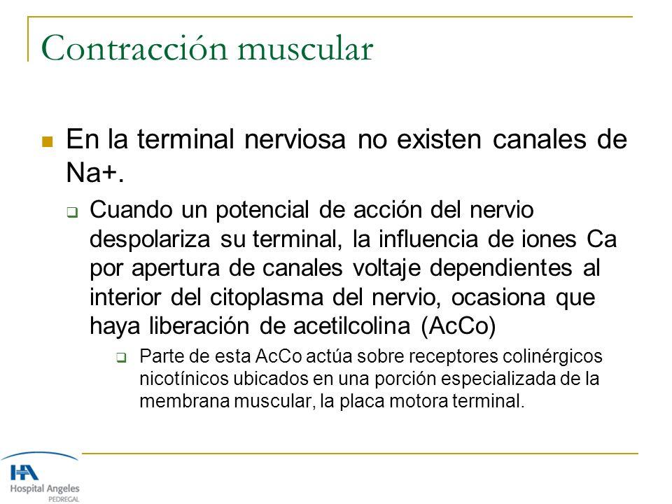 Contracción muscular En la terminal nerviosa no existen canales de Na+. Cuando un potencial de acción del nervio despolariza su terminal, la influenci