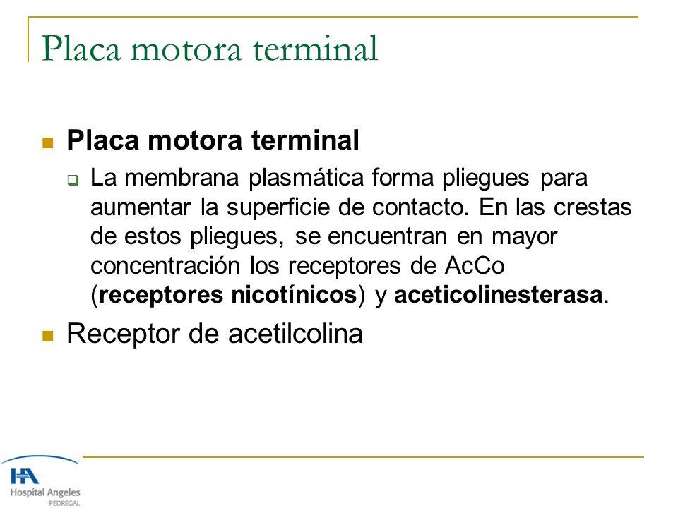 Placa motora terminal La membrana plasmática forma pliegues para aumentar la superficie de contacto. En las crestas de estos pliegues, se encuentran e