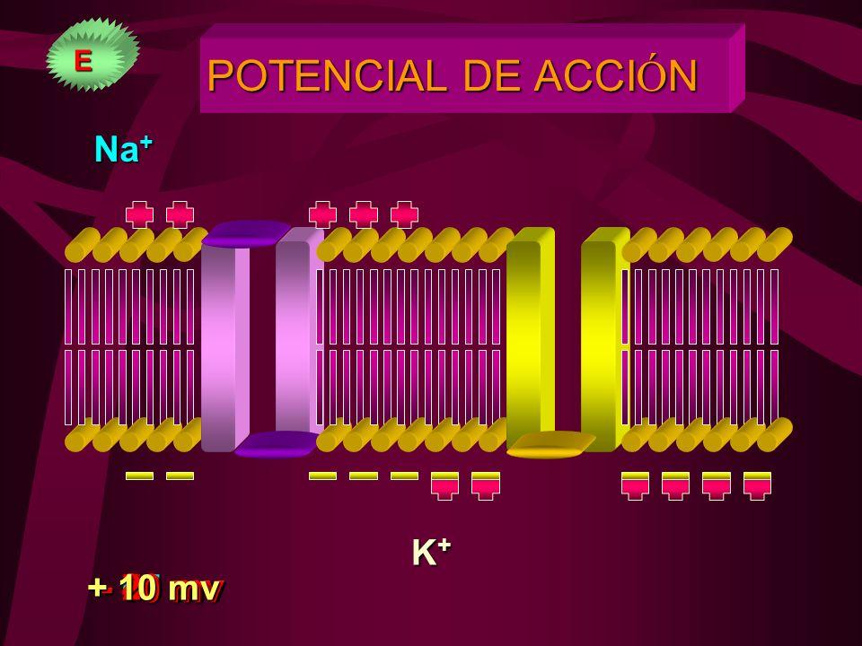 POTENCIAL DE REPOSO - 90 mv Na + 3Na + 2K + Bomba Na K K+K+K+K+