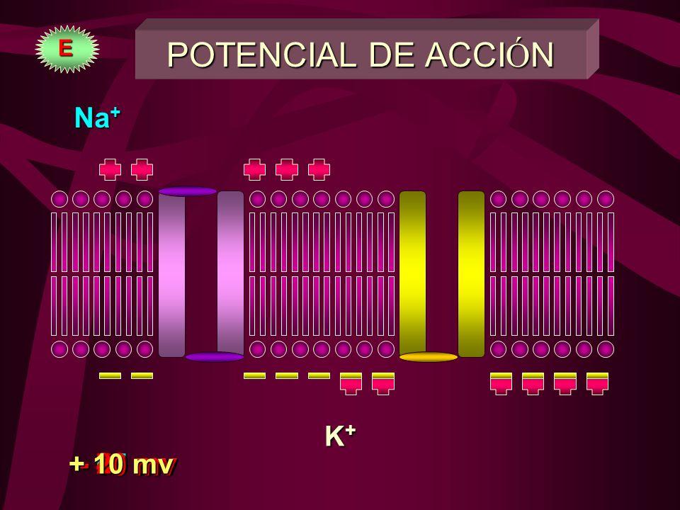 POTENCIAL DE ACCI Ó N REPOSOREPOSO MEMB. POLARIZADA (-90 mv)MEMB. POLARIZADA (-90 mv) DESPOLARIZACION:DESPOLARIZACION: SOLO ENTRADA DE Na +SOLO ENTRAD