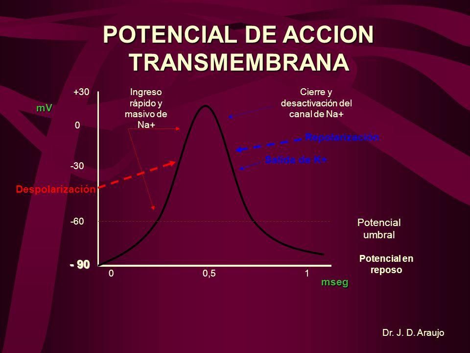 POTENCIALES NEURONALES AXOPLASMA E. EXTRACELULAR Na + K+K+K+K+ E