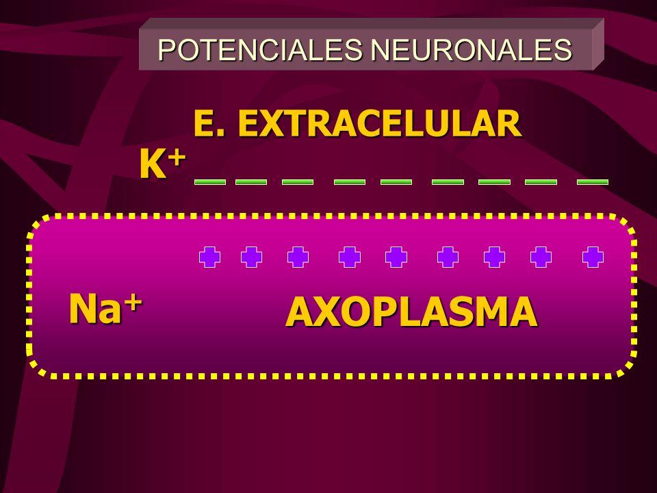 -60 +30 0 -30 Ingreso rápido y masivo de Na+ Cierre y desactivación del canal de Na+ Salida de K+ Potencial umbral Potencial en reposo POTENCIAL DE AC