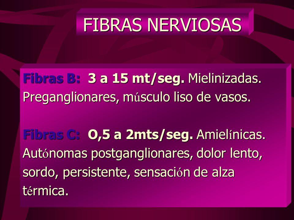 FIBRAS NERVIOSAS V ELOCIDAD DE CONDUCCI Ó N Fibras A: 20 a 120 mt/seg. Mielinizadas Alfa: (Gruesas func. motoras, propiocept. act. refleja). act. refl