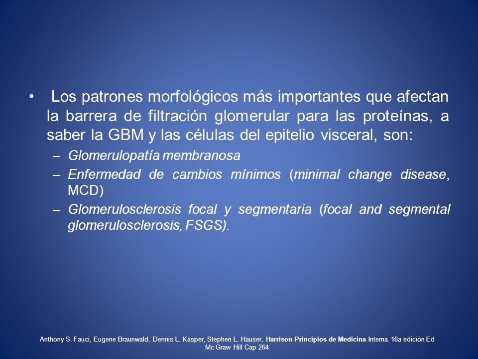 Los patrones morfológicos más importantes que afectan la barrera de filtración glomerular para las proteínas, a saber la GBM y las células del epiteli