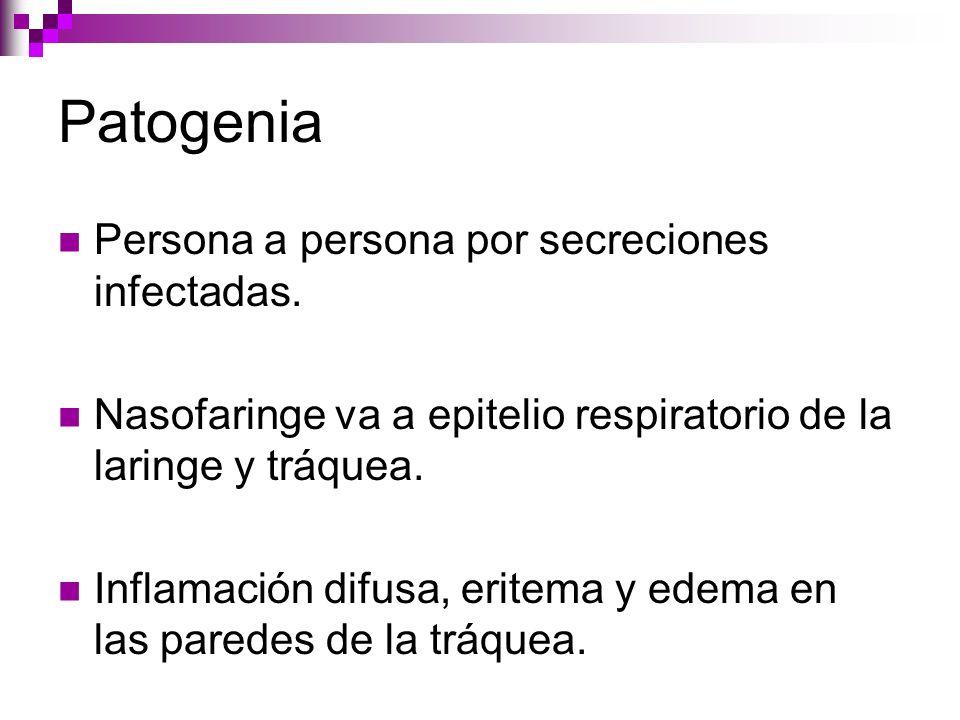 Patogenia Persona a persona por secreciones infectadas. Nasofaringe va a epitelio respiratorio de la laringe y tráquea. Inflamación difusa, eritema y