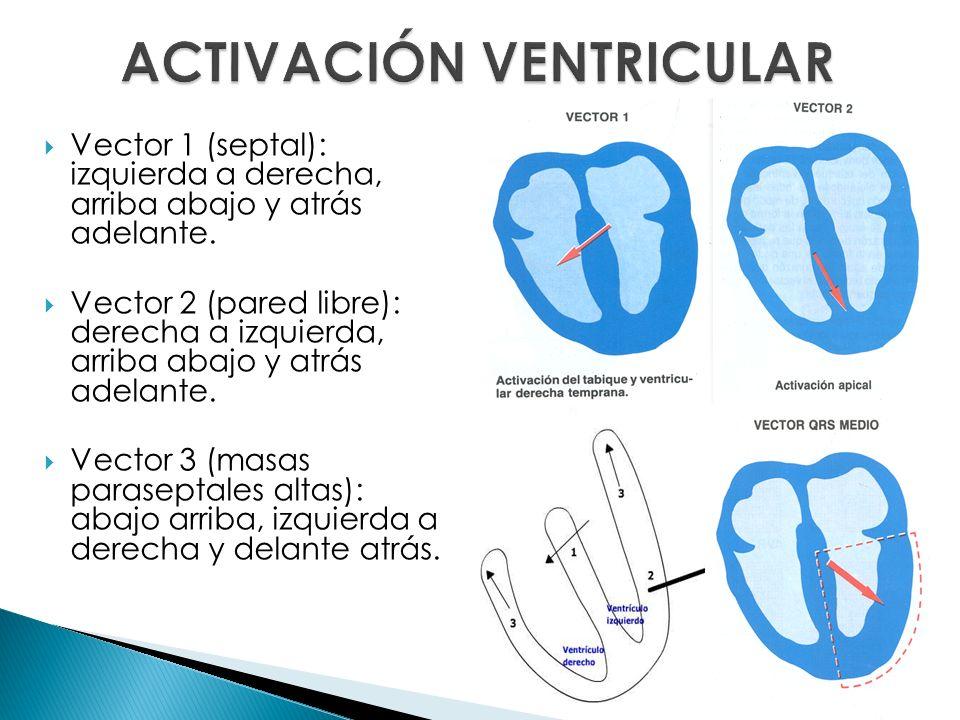 Vector 1 (septal): izquierda a derecha, arriba abajo y atrás adelante. Vector 2 (pared libre): derecha a izquierda, arriba abajo y atrás adelante. Vec